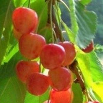 Cherry 'Werdersche Glaskirsche'