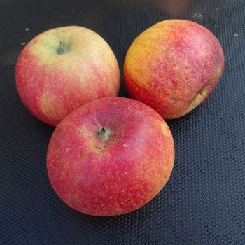 Apple 'Howgate Wonder'
