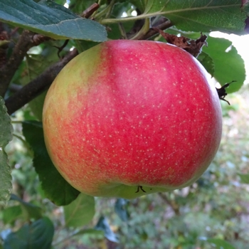 Apple 'Kroonprinz Rudolf'