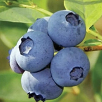 Blueberry 'Coville'
