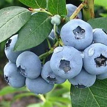 Blueberry 'Nui'
