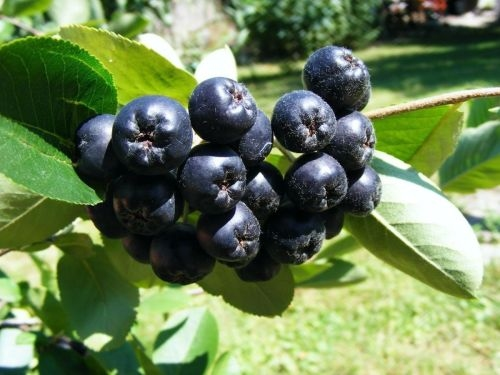 Chokeberries (Aronia)