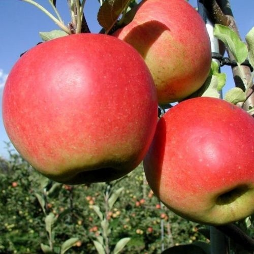 Apples new varieties