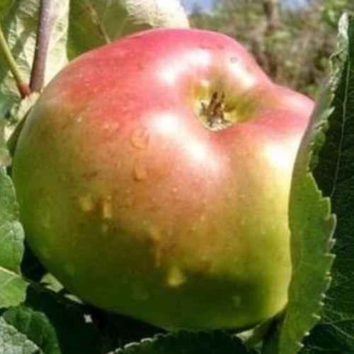 Appelbomen (oude rassen)
