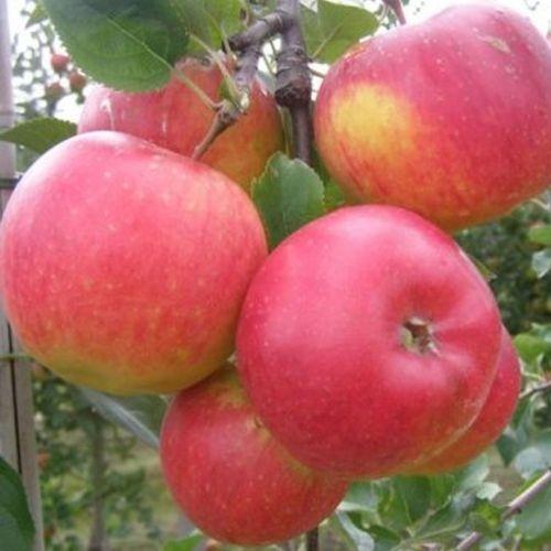 Appelbomen (winter)