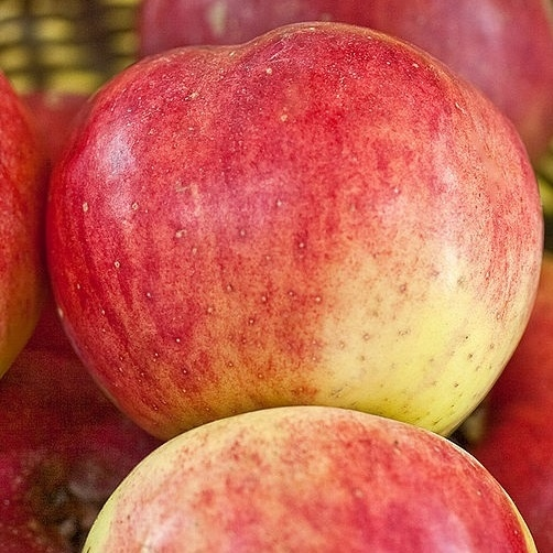 Apples rare breeds