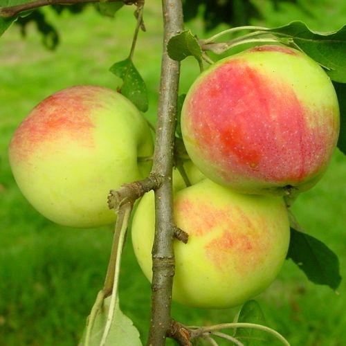 Appelbomen (zomer)