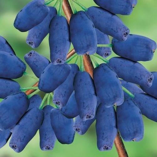 Camérisier bleu ou chèvrefeuille bleu