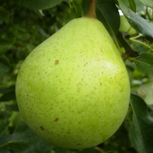 Pears new varieties